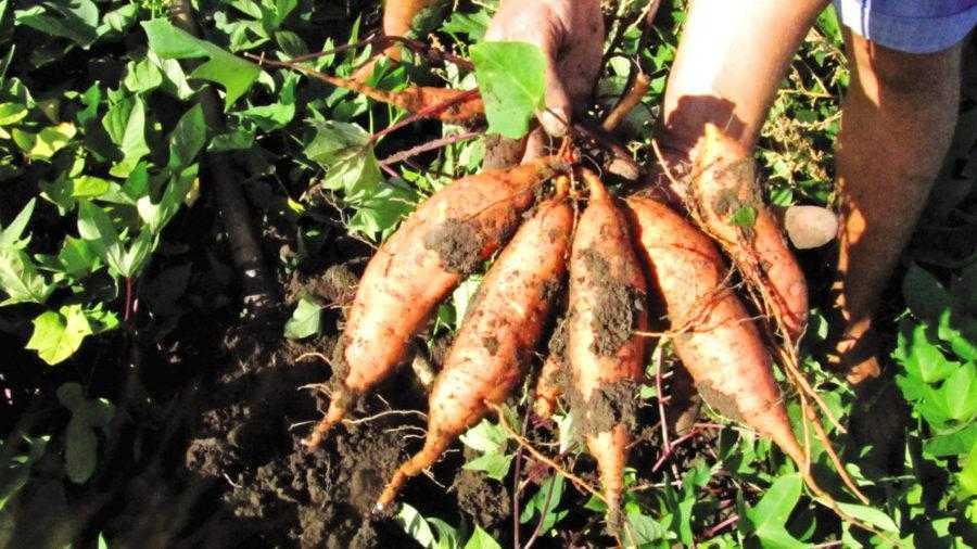 Рис. 6. Урожай с одного куста сорта Эрнаднес – качество ничем не уступает импортному