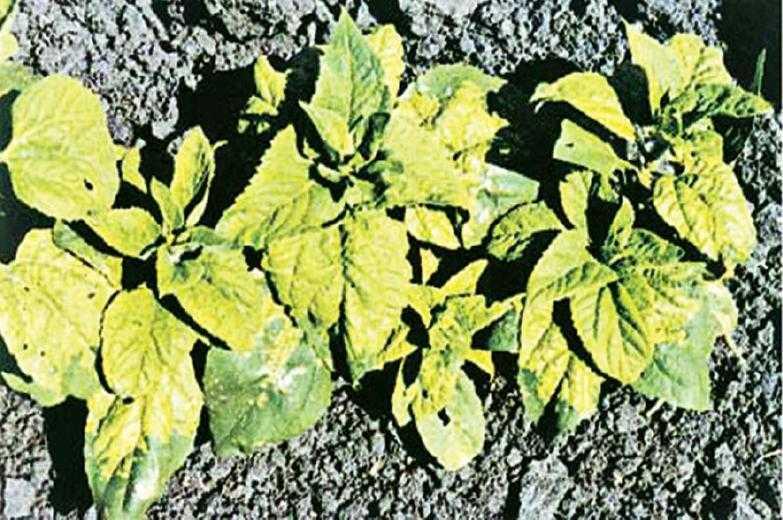 Рис. 7. Карликовость и изменение цвета подсолнечника в результате инфицирования ложной мучнистой росой