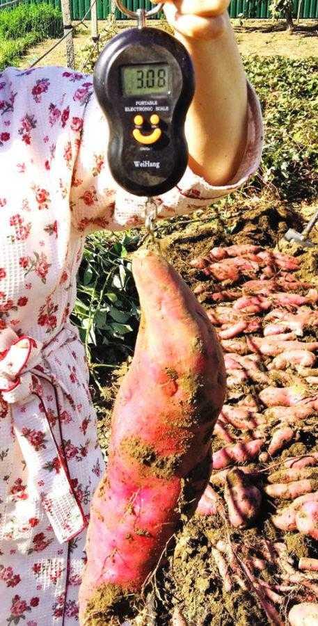 Рис. 7. Клубень сорта Винницкий розовый с рекордной массой – более трех килограмм