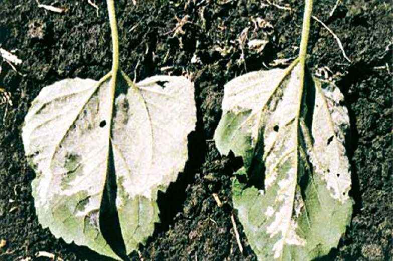 Рис. 8. На нижней поверхности листьев, зараженных ложной мучнистой росой, часто наблюдается белый ватоподобный налет