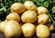 Застосування гумату калію в технології вирощування картоплі