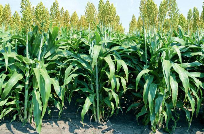 Зерновое сорго: от выращивания до эффективного использования