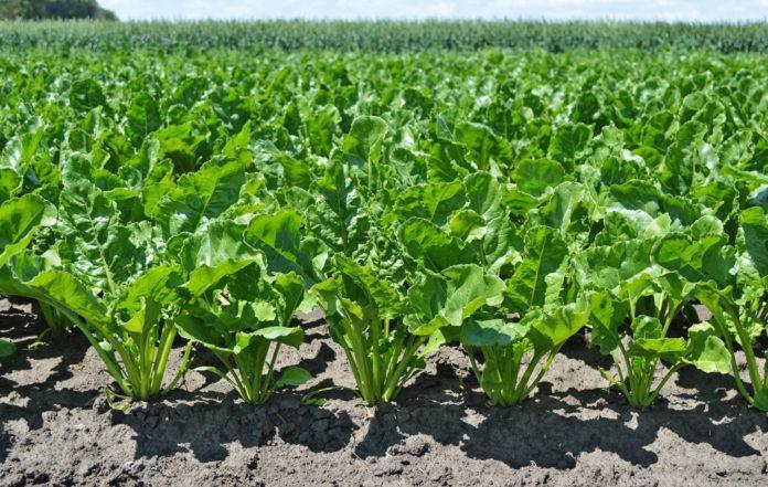 Досвiд отримання високих врожаїв цукрових бурякiв