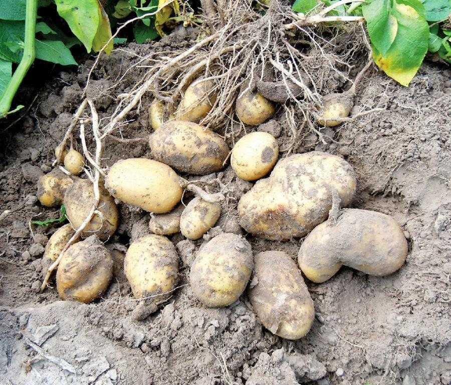 Збирання врожаю картоплі