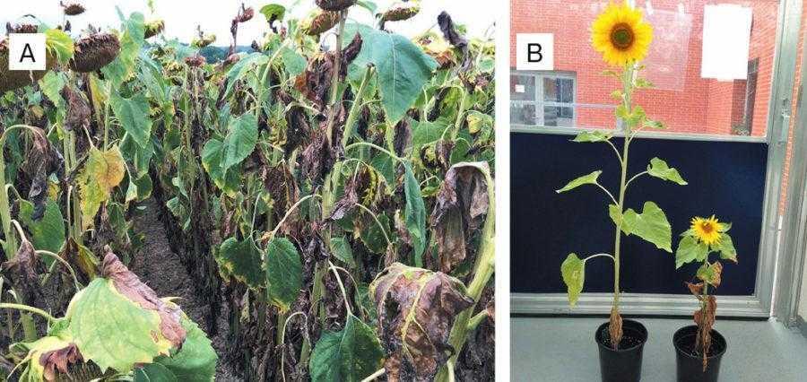 Рис. 1. Поле, значно інфіковане Verticillium (A), та порівняння рослин чутливого гібриду, штучно інфікованого й не інфікованого в умовах контролю (В)