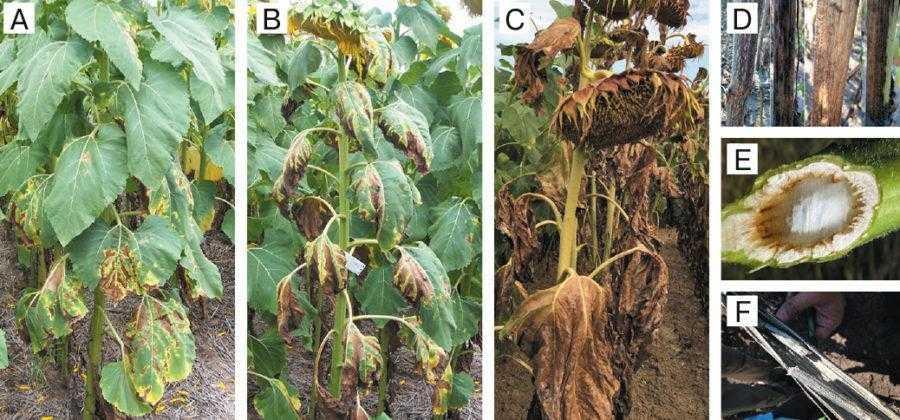 Рис. 2. Деталізовані симптоми вертицильозного в'янення: Початкові симптоми у нижній частині рослини (A); типова симптоматика рослини, інфікованої Verticillium dahliae, перед дозріванням (B); суха рослина, інфікована патогеном (С); почорніння стебел у сухих рослин (D); колонізація судинної системи грибом (Е); частина стебла, зрізана у поздовжньому напрямку, на якій видно мікрослекроції (F)