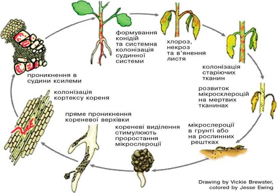 Рис. 3. Життєвий цикл Verticillium dahliae