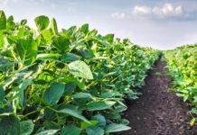 Контроль бур'янів у посівах сої під час вегетаціїї
