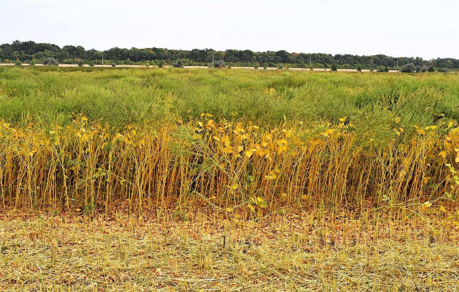 Заходи з контролю амброзії мають бути спрямовані на виснаження запасів її насіння в ґрунті й запобігання повторному засміченню