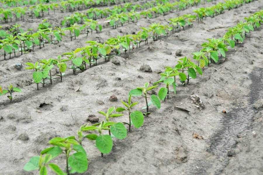 Зменшення забур'яненості посівів сої суттєво змінює умови росту і розвитку культури та сприяє реалізації її продуктивного потенціалу