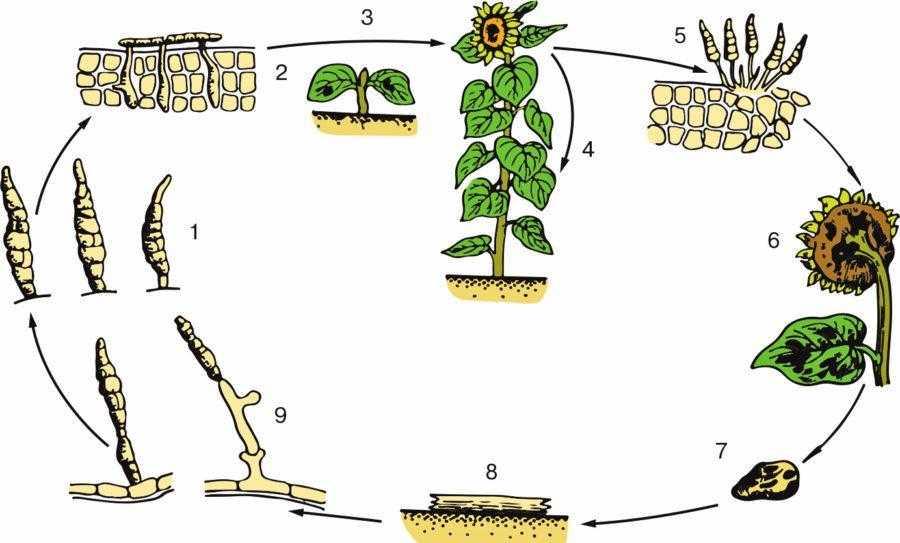 Рис. 8. Цикл развития альтернариоза подсолнечника (Alternaria helianthi) по Shkorich D.: 1 – конидии; 2 – прорастание конидий и проникновение в ткань растения; 3 – первичное заражение; 4 – вторичное заражение; 5 – конидии на зараженной ткани; 6 – развитие гриба на корзинке, листьях и стебле; 7 – мицелий на зараженном семени; 8 – мицелий на зараженных растительных остатках; 9 – образование конидиеносцев
