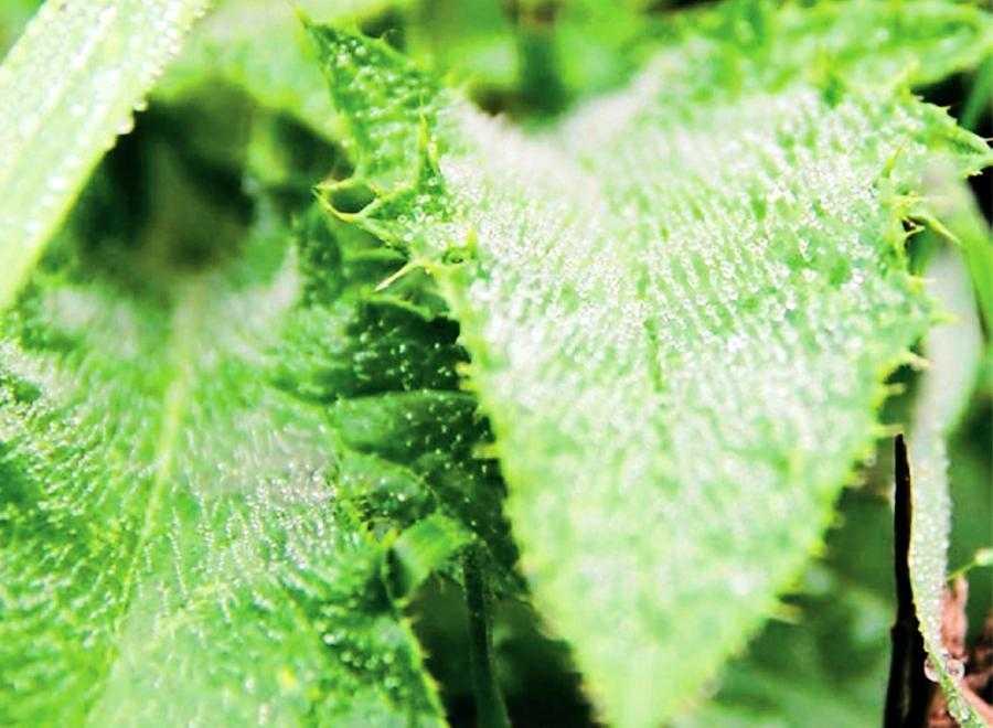 Листя, вкрите щільним шаром волосків (трихомами), суттєво ускладнює доступ пестициду до листкової поверхні