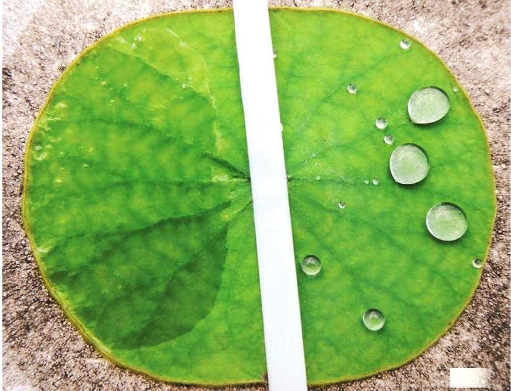 Зліва – сурфактант допомагає розтіканню краплин робочого розчину на восковій поверхні листка.  Справа – воскова поверхня листка відштовхує краплини води, надаючи їм округлої форми