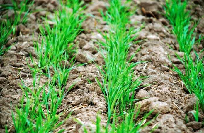 Продуктивність пшениці озимої залежно від попередників