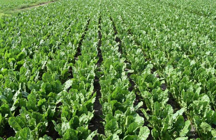 Ефект від застосування препарату Алгомель Пуш на посівах цукрових буряків, що вирощуються за технологією Конвізо Смарт (17.06.2019)