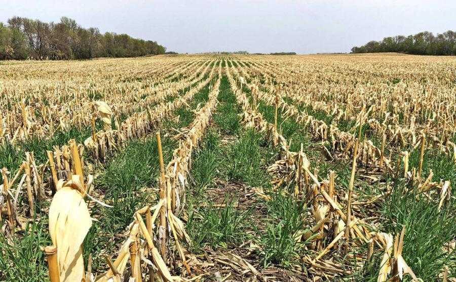Озимая рожь – однолетняя зерновая культура, предотвращающая ветровую эрозию почвы. Ее зеленая масса после прекращения роста культуры подавляет сорняки для посева по технологии Notill