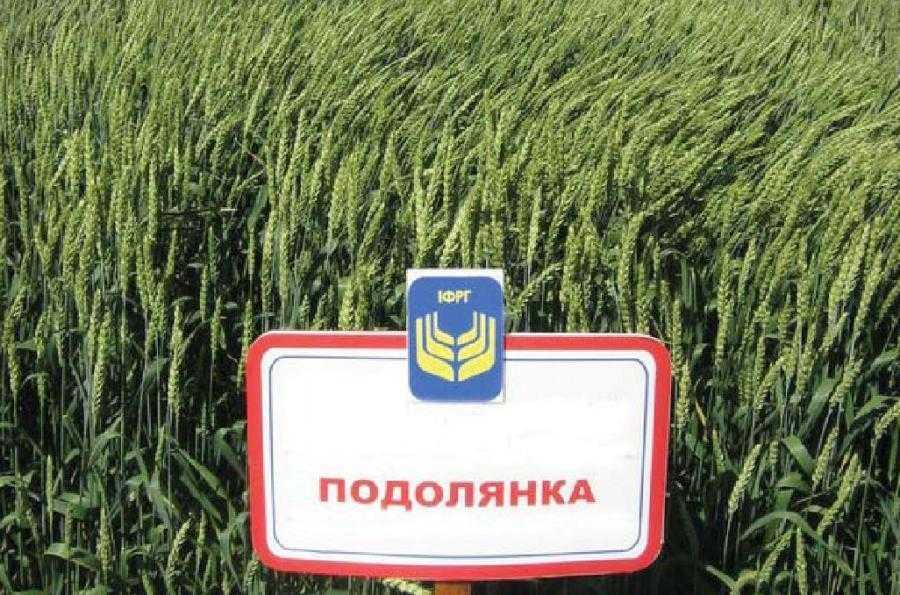 Подолянка пшениця