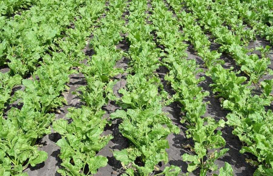 Посіви цукрових буряків без застосування препарату виглядають слабшими і мають більш світле та опущене листя (17.06.2019)
