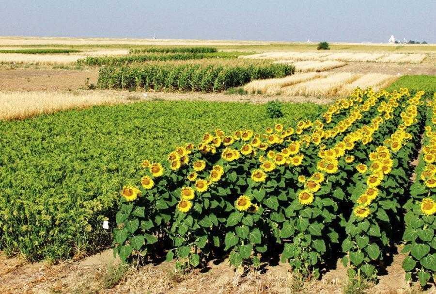 Рис. 1. Соняшник розпушує ґрунт у зернових сівозмінах