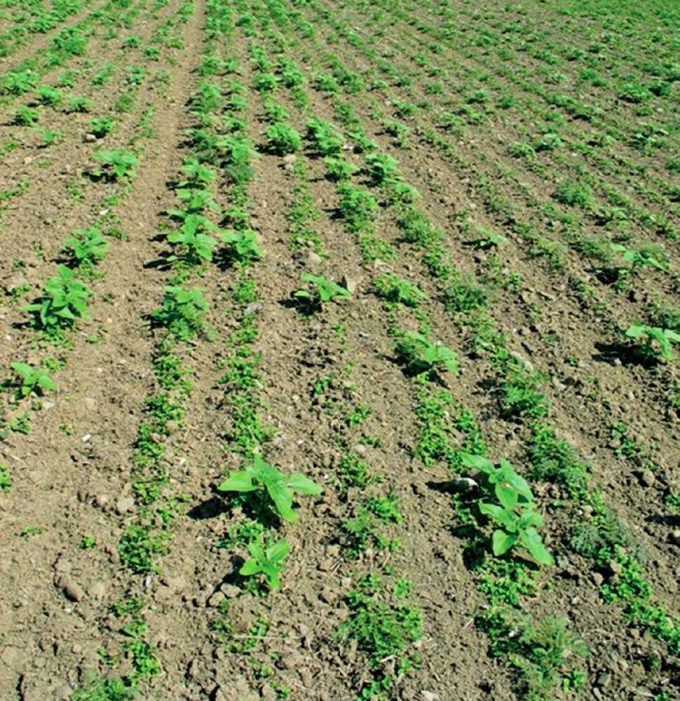 Рис. 2. На <em>1 м<sup>2 </sup></em> має бути щонайменше три рослини