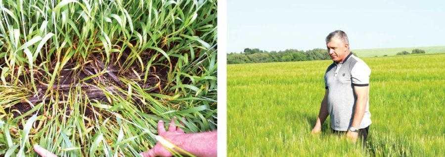 Зрозуміти, що ці посіви ячменю вирощуються за технологією No-till, можливо лише після огляду поверхні ґрунту