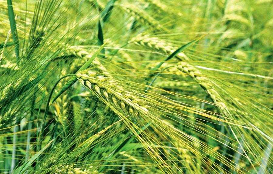 У більш посушливому році чизельний обробіток показав вищі результати урожайності ячменю порівняно з полицевою оранкою