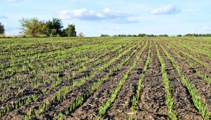 Застосування амонійного азоту на озимій пшениці в осінній період