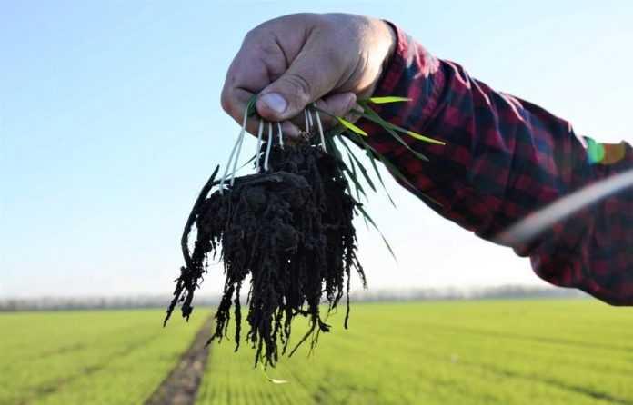 Демонстрація стану ґрунту через стан розвитку коріння озимої пшениці. Фото ©ФАОВікторія Михальчук.