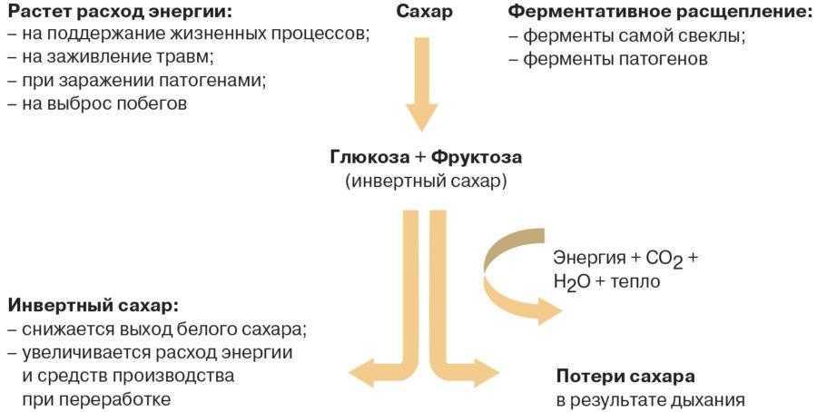 Рис. 1. Процессы преобразования сахара в сахарной свекле при хранении