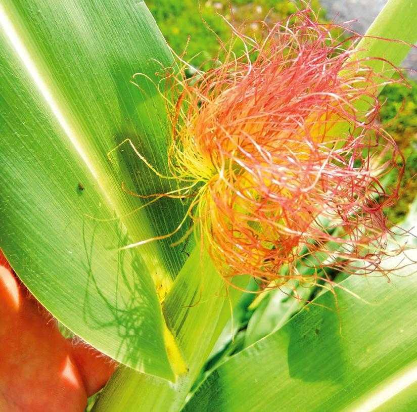Рис. 2. Критический период усвоения азота у кукурузы – фаза цветения у кукурузы – фаза цветения