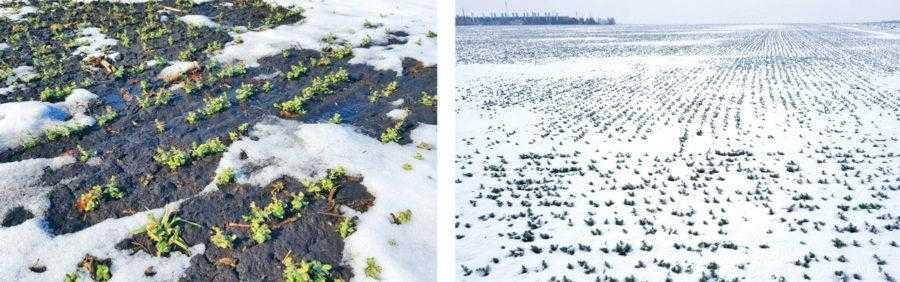 Використовуючи зимову вологу, озимий горох, на відміну від ярого, встигає розвинутись ще до настання літньої посухи