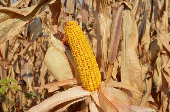 Рекорд врожайності кукурудзи