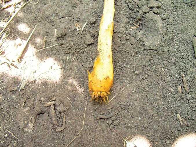 Рис.3. Почка заразихи с гаусториями на конце, покрытая чешуйками, превращающимися впоследствии в видоизмененные листья