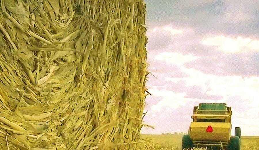 Рис. 2. Соотношение основной (зерно) и побочной продукции (солома) в зависимости от генетических особенностей гибрида и условий выращивания составляет 1:0,9–2,0 (обычно 1:1,5). Высокорослые гибриды кукурузы, выращиваемые на орошении, гибриды двойного назначения зерно/силос и гибриды с большим ФАО обычно формируют значительно больше соломы. Сжигание кукурузной соломы может быть использовано для нагрева воды и отопления, обогрева теплиц, сушки зерна, получения электричества и других целей