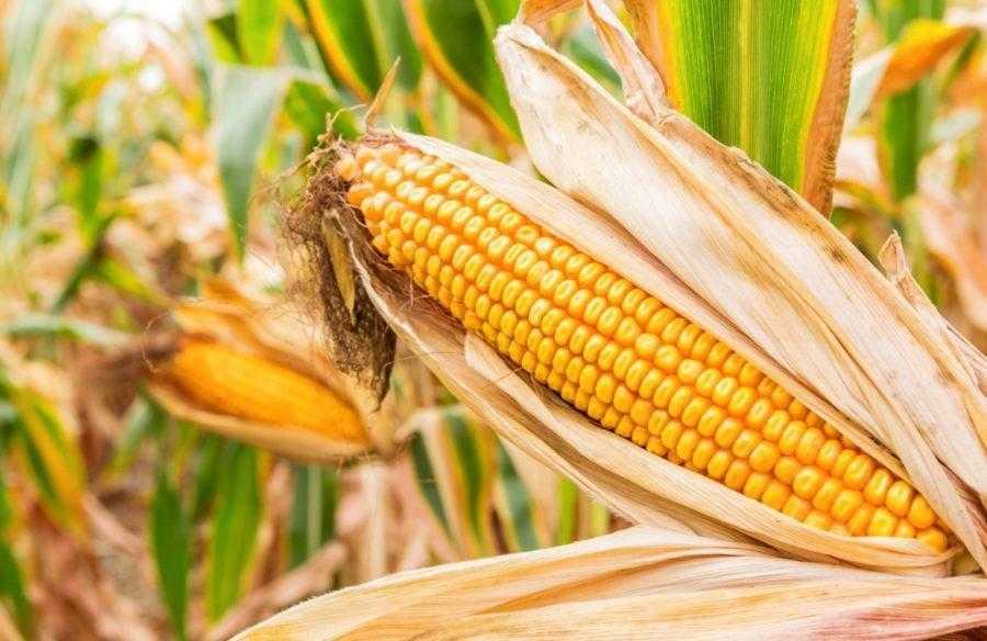 Удобрення кукурудзи