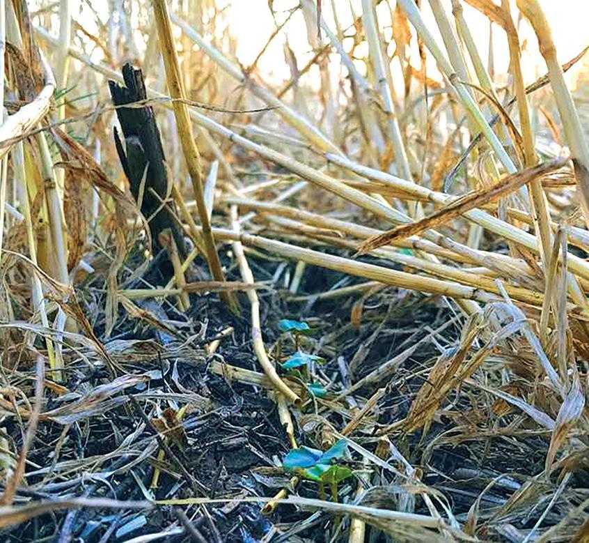 В процессе разложения соломы в почве образуются кислоты, которые ингибируют рост растений. Фитотоксичный эффект также проявляется в задержке роста корней и хлорозе