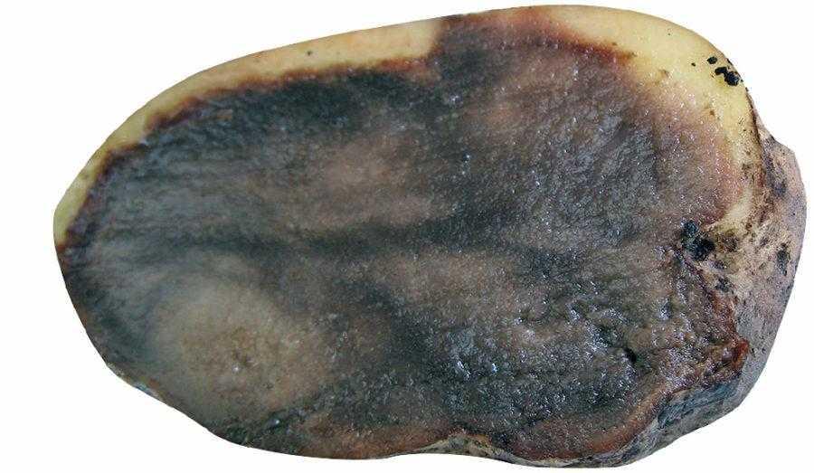 Загальний вигляд загниваючої темної паренхіми ураженої бульби