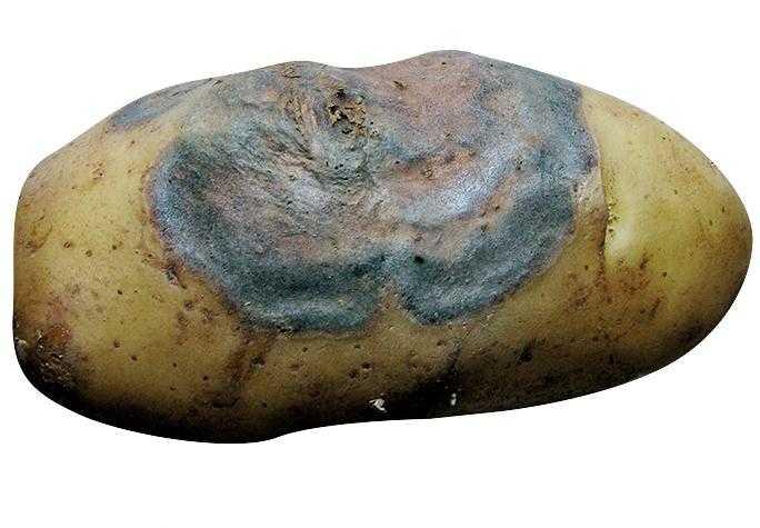 Зовнішні ознаки прояву хвороби на бульбі картоплі