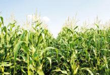 Дослідження різних систем удобрення кукурудзи на зерно