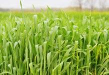 Час захистити зернові культури від бур'янів