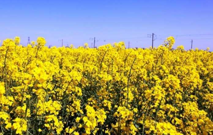 Головний агроном агрохолдингу поділився технологією вирощування ріпаку