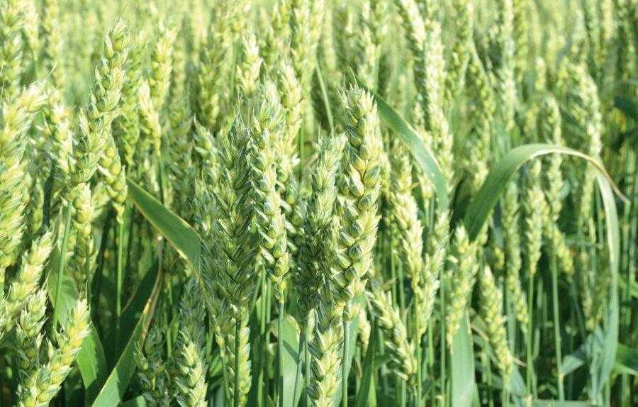 Нестача азоту в поживному режимі пшениці під час формування зерна зменшує його білковість навіть за нормального живлення рослин до фази колосіння