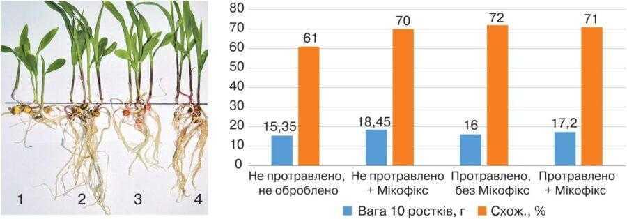 Рис. 1. Результати пророщування насіння кукурудзи, обробленого препаратом Мікофікс