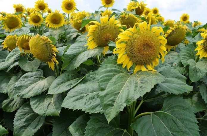 Внесення рідких добрив під соняшник