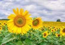 Високоолеїновий соняшник