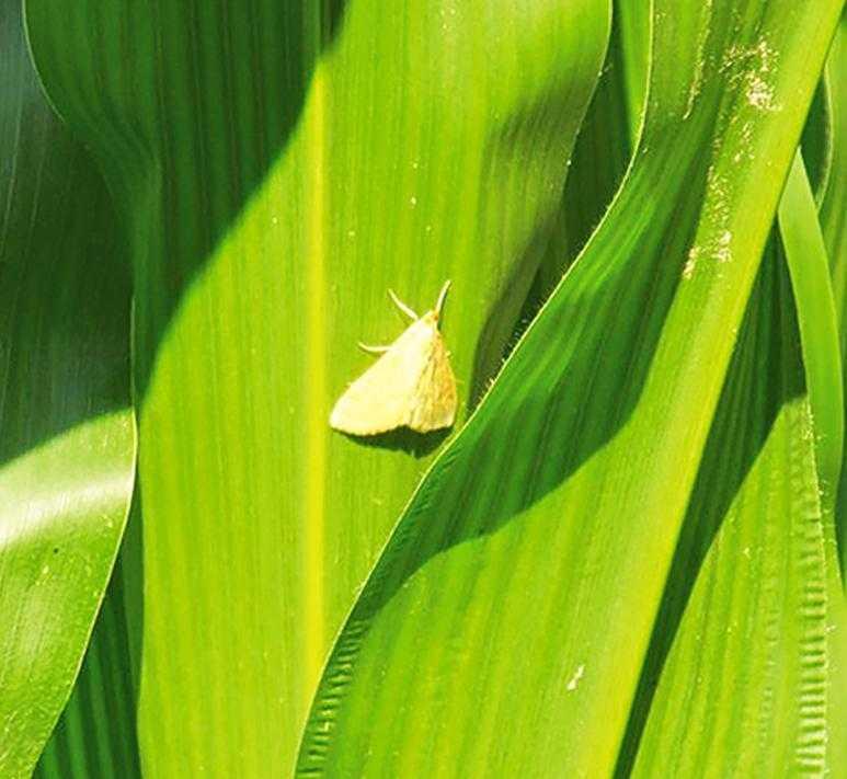 Захист від стеблового кукурудзяного метелика ускладнений, тим, що важливо визначити правильний строк обприскування при дуже розтягнутому періоді вильоту метелика