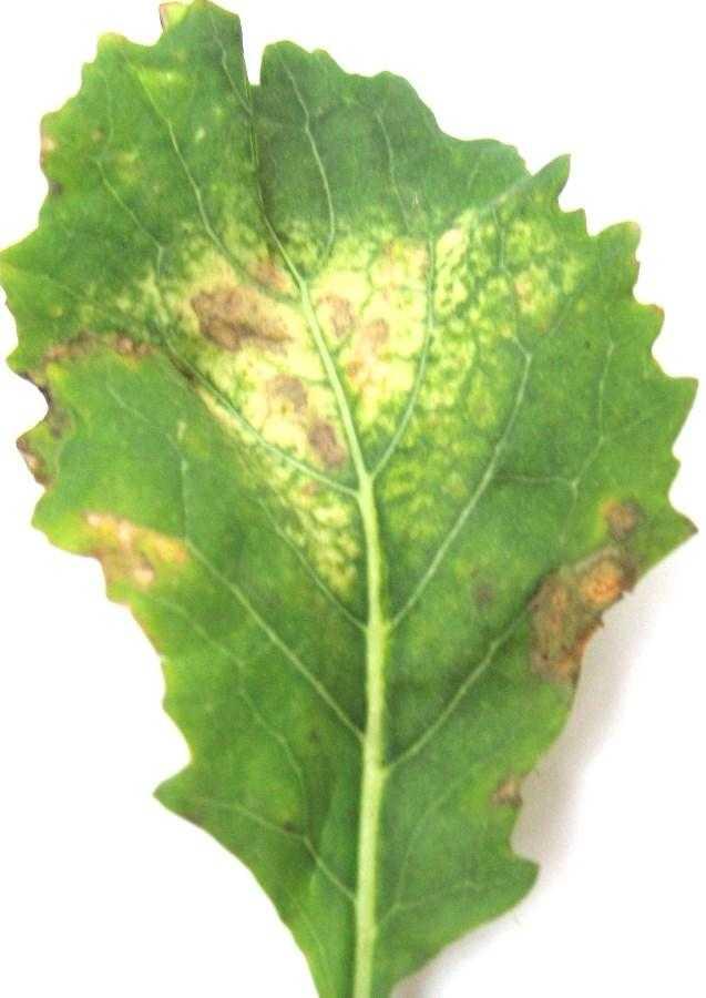 Діагностичні ознаки циліндроспоріозу на листках