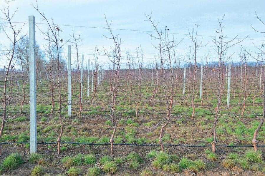 Для посадки саду використовують наступні схеми – 4 х 1 м або 3,5 х 1 м. За першого варіанту на гектарі розміщується 2500 дерев, за другого – 2857. Посадка зазвичай відбувається сортосмугами, адже сорти потребують другого запилювача