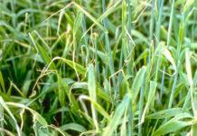 Ознаки дефіциту елементів живлення у пшениці