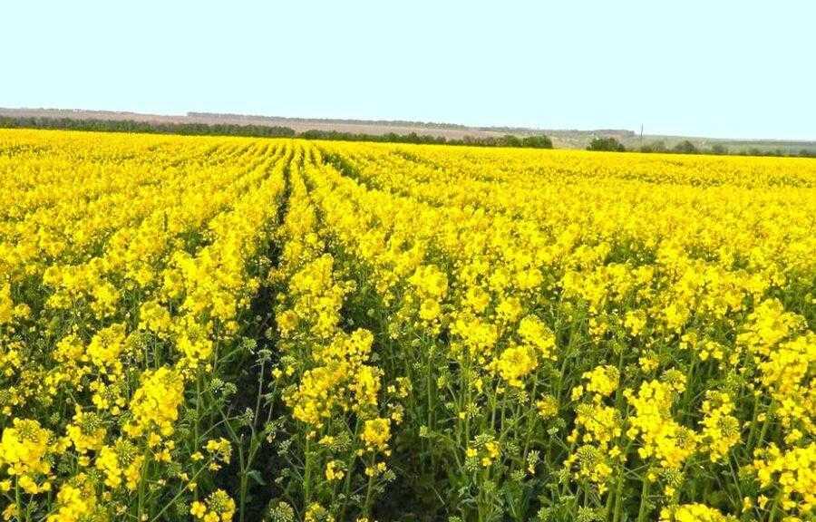 Поле с отличным развитием растений и высоким потенциалом урожайности. Необходимо позаботиться и о пчелах: для это следует применять такие безопасные инсектициды, как Бискайя и Моспилан и опрыскивать посевы только в ночное время